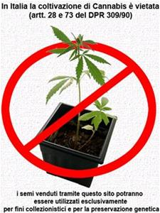 Buy hemp seeds online - english