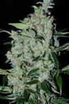 PURPLE MEXICAN * CANNABIOGEN   1 SEME FEM