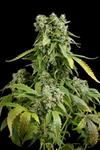 BLUE CHEESE AUTO * DINAFEM SEEDS  1 SEME FEM