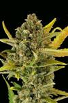 CRITICAL CHEESE AUTO * DINAFEM SEEDS - 1 SEME FEM